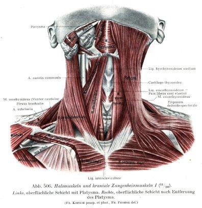 頚部筋肉前面