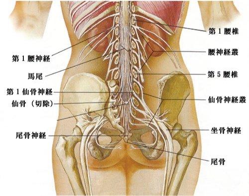 腰椎神経叢